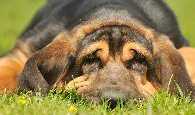 Image result for bloodhound bored