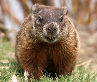 Image result for groundhog images