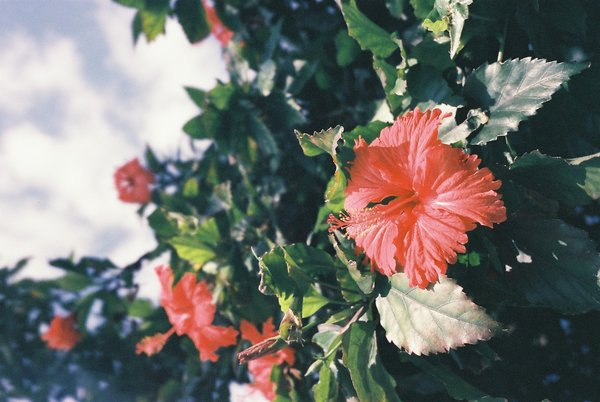 Hibiscus Benefits Ayurvedic Home Remedies Japa Pushpa The