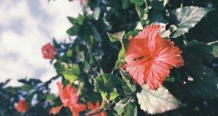 Hibiscus Benefits + Ayurvedic Home Remedies (Japa Pushpa)
