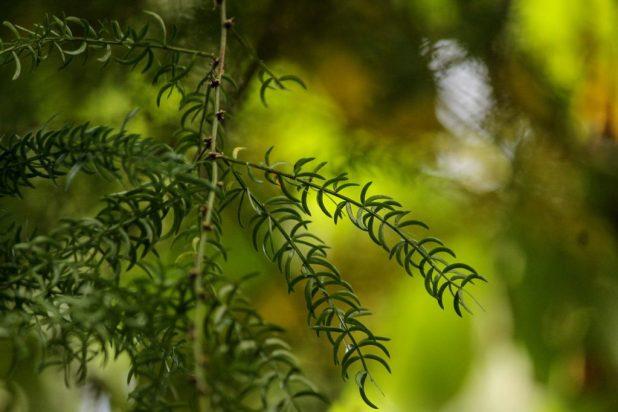a shatavari plant