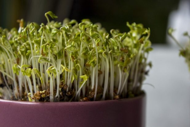 Aromatic seed of batlle-cress garden 15g