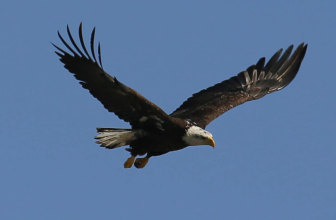 Caption from the Buffalo News: A bald eagle, one of a pair of eagles raising chicks in a nest on Strawberry Island in the Niagara River, fishes in the river, Saturday, March 9, 2013. (Derek Gee/Buffalo News)