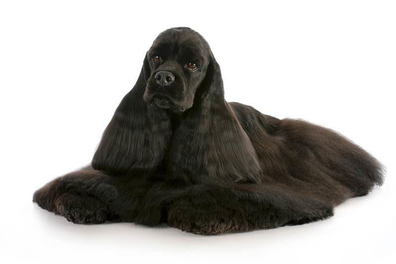 Medium Dog Breeds American Kennel Club