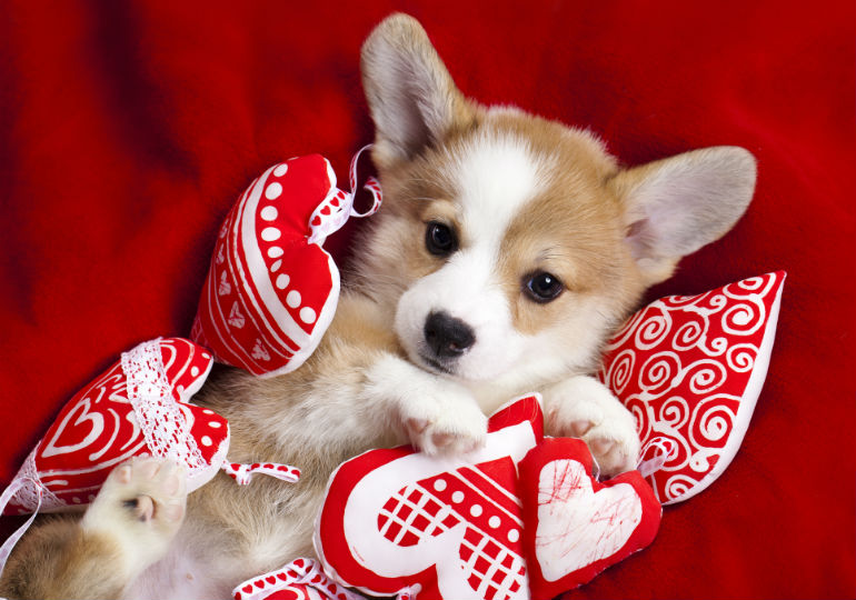 Puppy Love Make Valentines Day Special For Your Dog