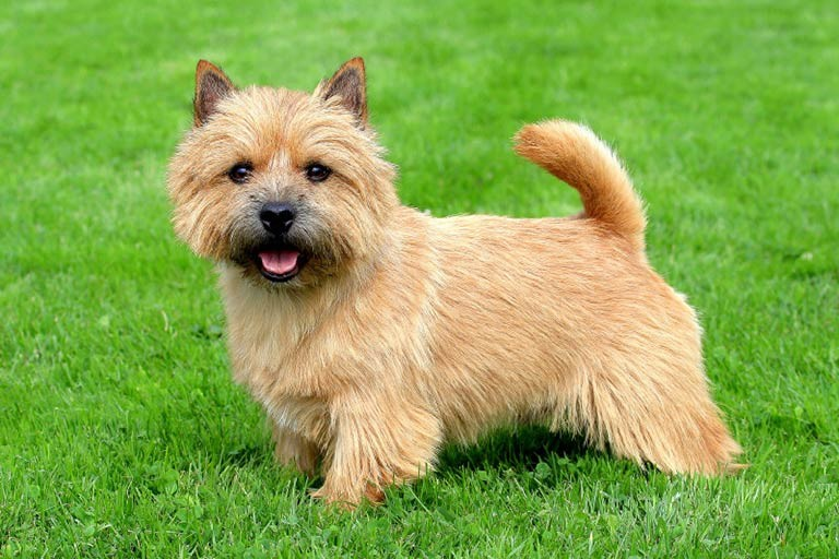 Smallest Dog Breeds American Kennel Club