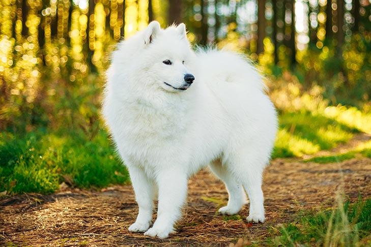 16. Chó Samoyed