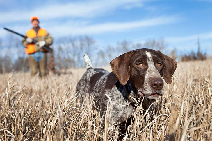 German Shorthaired Pointer leading a hunter through the tall brown grasses of a field in the fall.