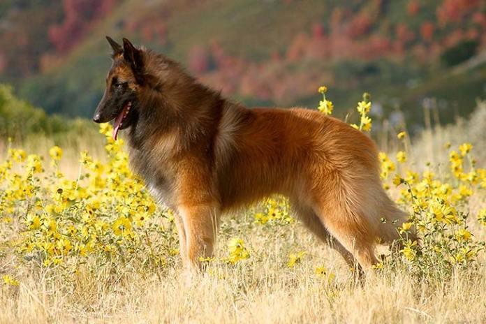 Image result for Belgian shepherd Dog