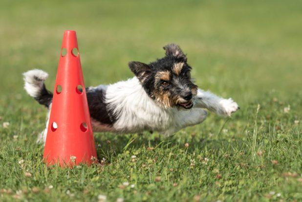 russell terrier runs around cone