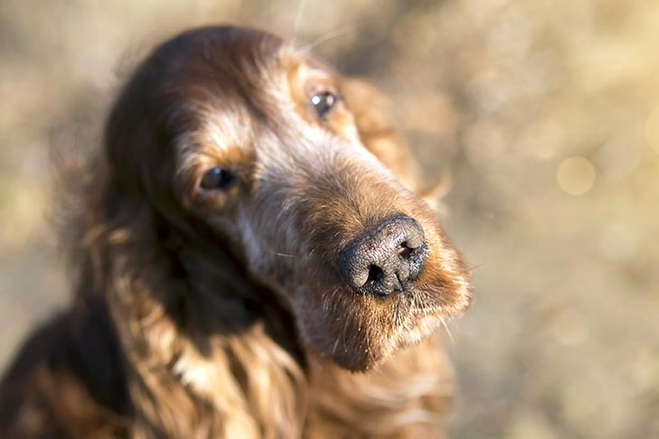 Irish Setter aging with a sad face.
