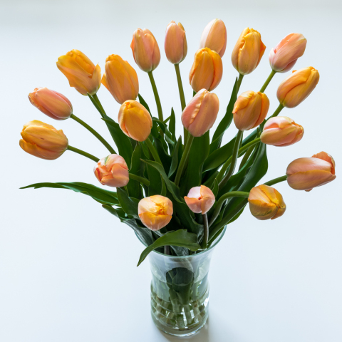 Tulips com  Tulips  French Tulip Growers Choice French Tulips Grower s Choice