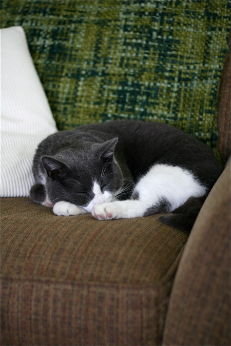 gray-white-cat-sleeping-in-chair