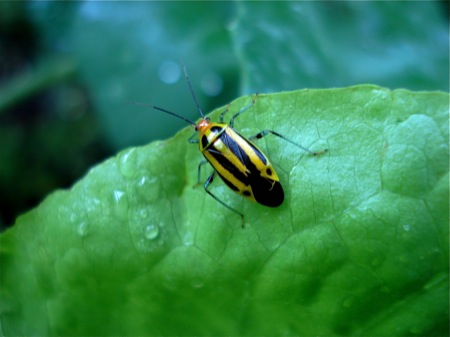four-lined-plant-bug