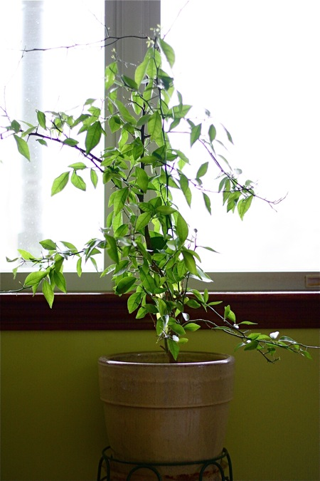 citrus-tree-in-window