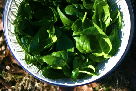 first-spinach-harvest