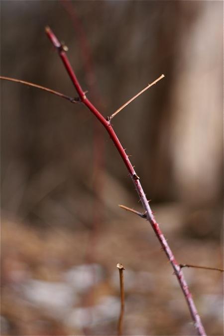 black-raspberry-twig-in-winter