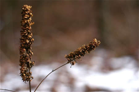 dried-butterfly-bush-flowers