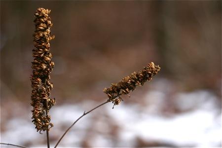 dried-butterfly-bush-flowers