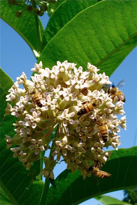 bees-on-milkweed
