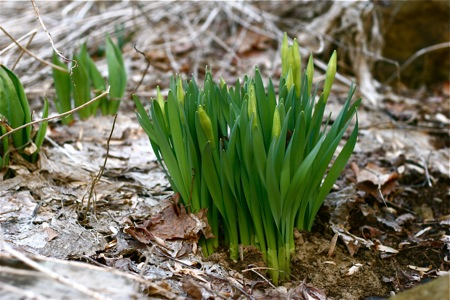 daffodils-coming-up