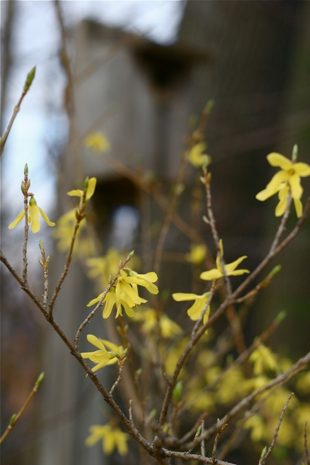forsythia-with-bird-house
