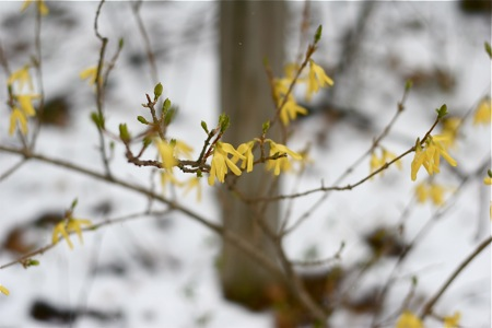 forsythia-in-snow