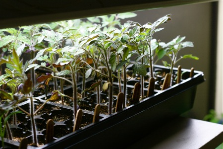 tomatoes-under-the-grow-lights