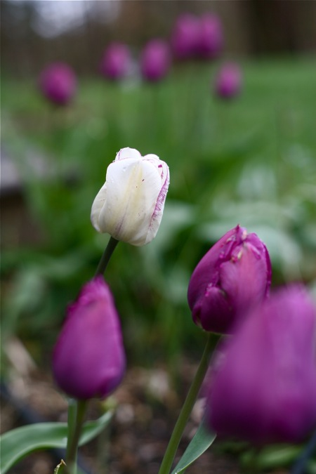 purple-white-tulips
