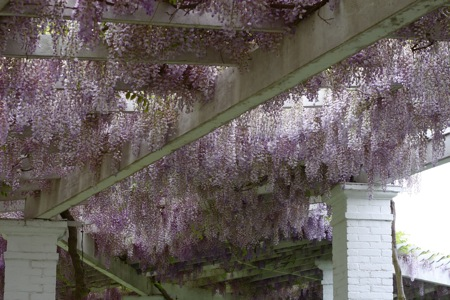 tons-of-wisteria-blossoms