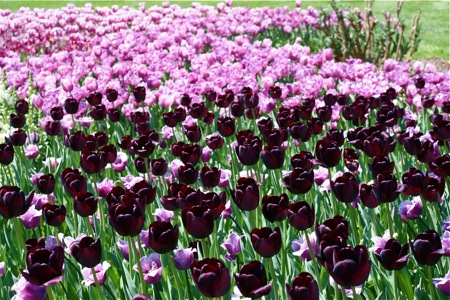 dark-purple-tulips