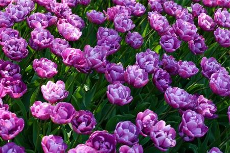 purple-tulips