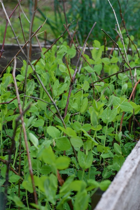 peas-growing