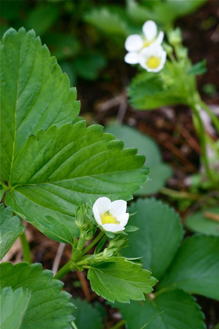 strawberries-blooming