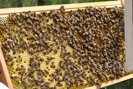 bees-on-foundation