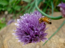 honeybee-on-chives