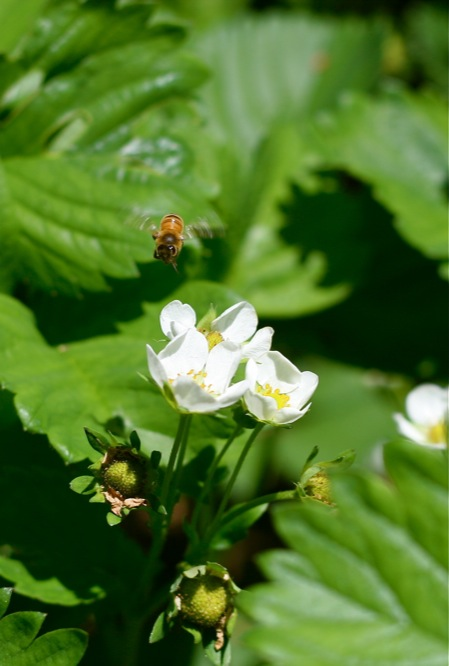 honeybee-on-strawberry-blossom