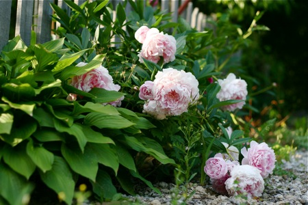 pink-peonies-by-fence
