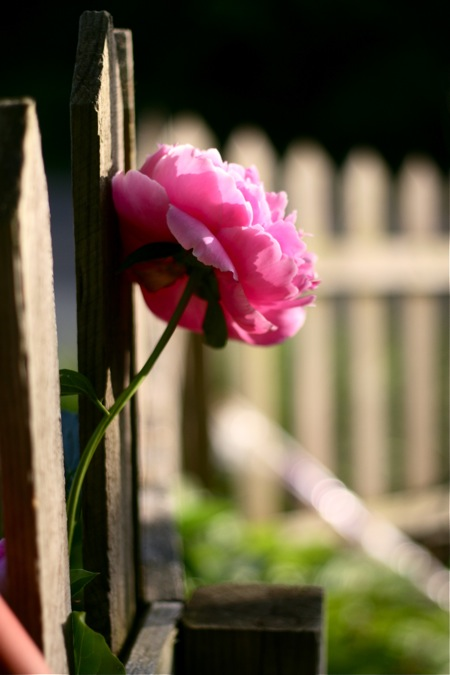pink-peony-by-fence