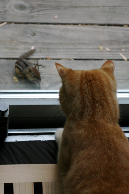 cat-stalking-chipmunk