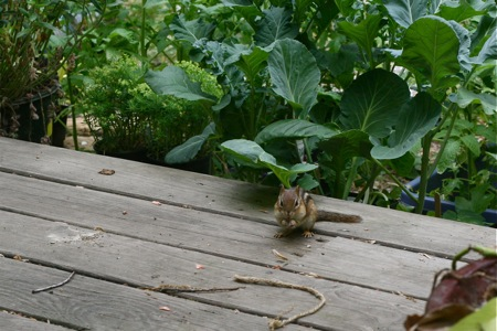 chipmunk-on-deck