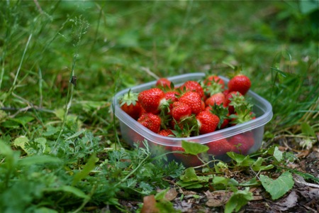 freshly-picked-strawberries