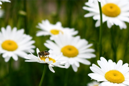 Fly on Oxeye Daisies