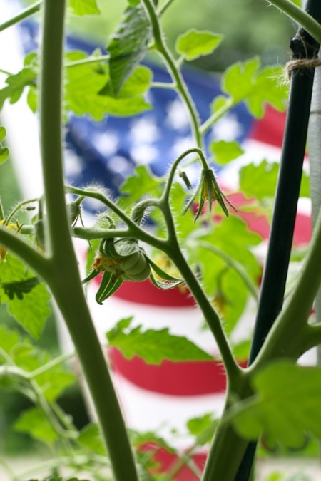 flag_behind_tomato