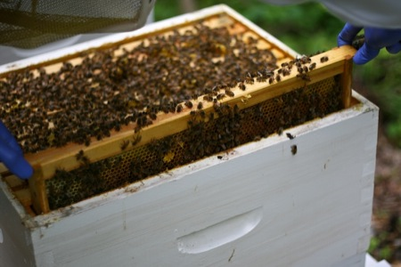 Bees_in_a_hive