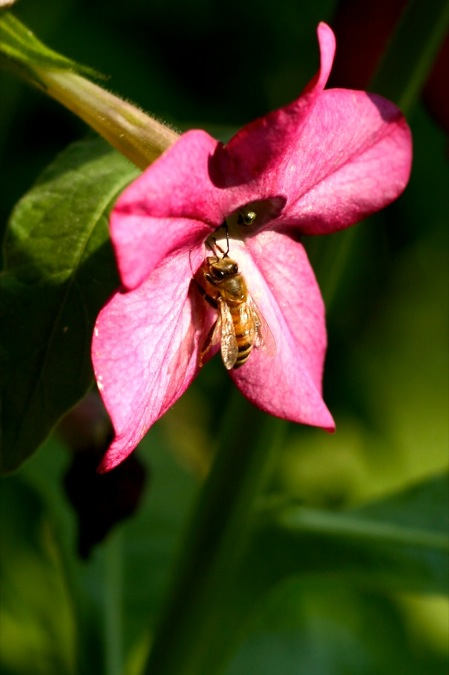 Honeybee_on_Nicotiana