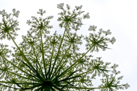 Queen_Anne's_Lace_from_underneath