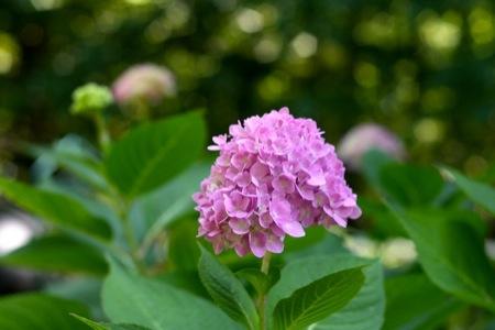 Endless_Summer_hydrangea_bloom
