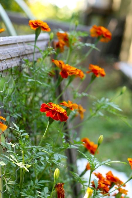 marigold_blooms