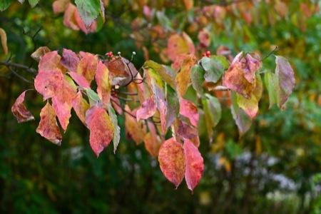dogwood_Leaves